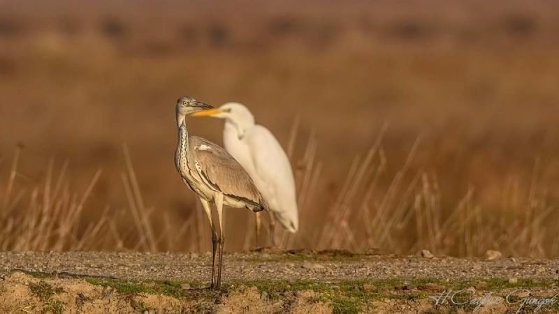 Grey Heron and Great Egret