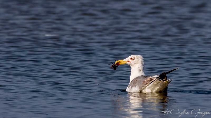Gull Eating Crab