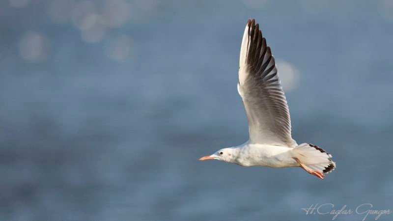 Slender-billed Gull in Flight
