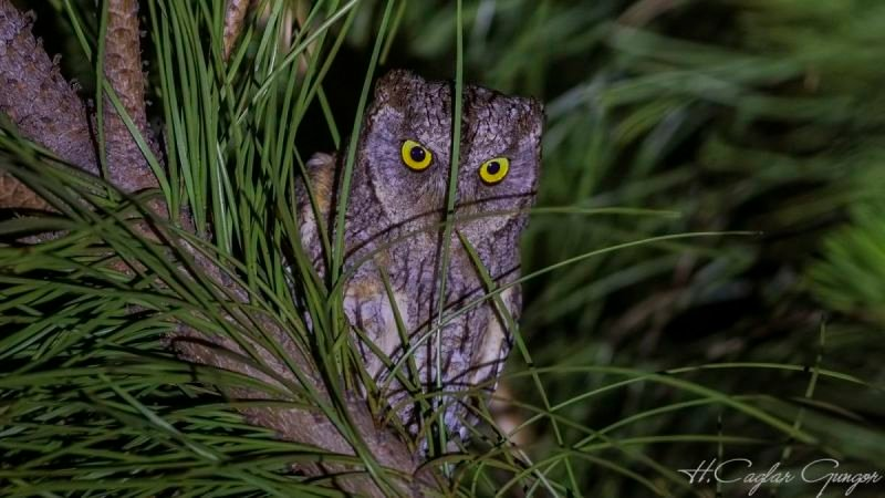 Eurasian Scops Owl at Night Looking Angry
