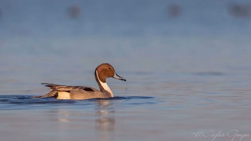 Northern Pintail On Clean Sea
