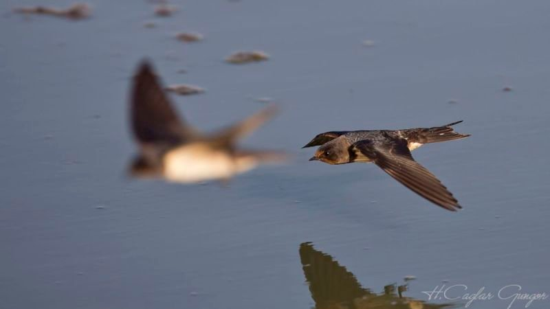 Swallow Flying over River
