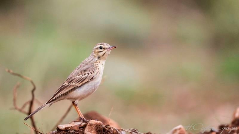 Tawny Pipit on Rock