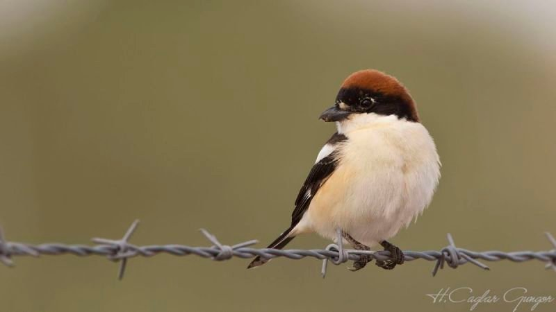 Woodchat Shrike on Barbed Wire