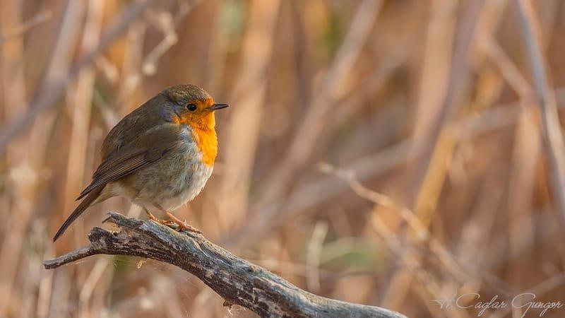 Robin on Wooden Log