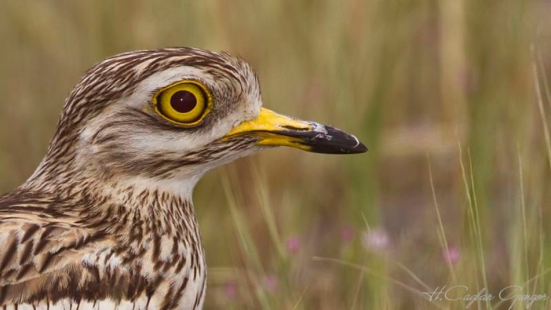 Portrait of Stone curlew