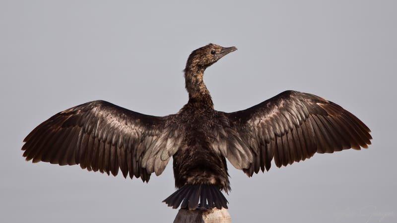 Pygmy Cormorant Wingspan