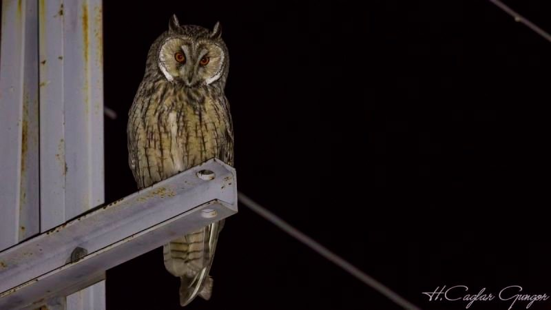 Long-eared Owl at Night Looking Curiously