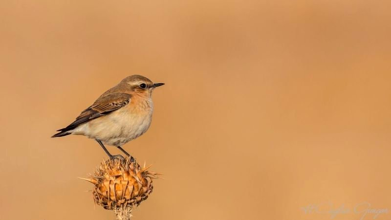 Northern Wheatear on Thistle
