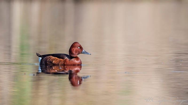 Lonely Ferruginous Duck On Lake