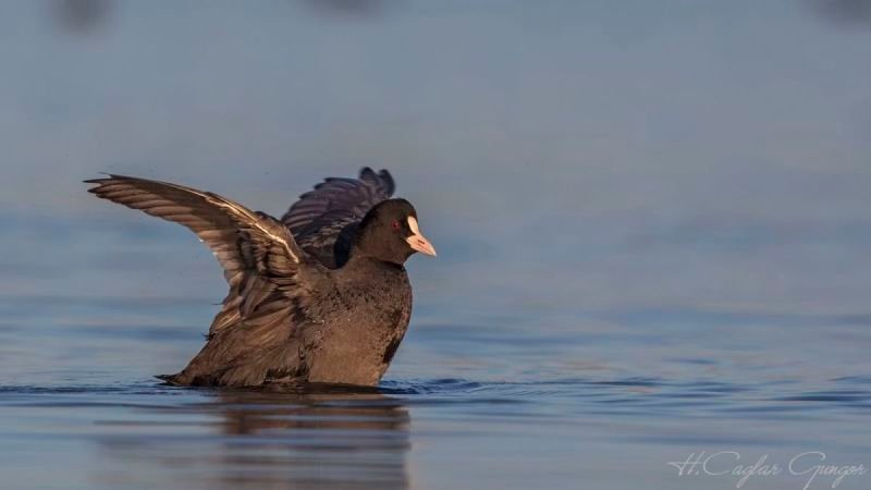 Common Coot Flapping Wings