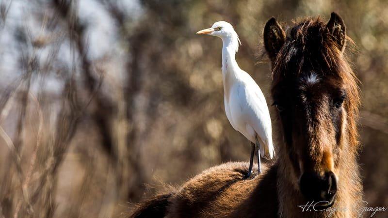 Cattle Egret on Horse