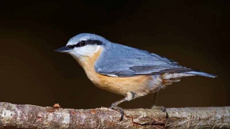 Nuthatch with Black Background