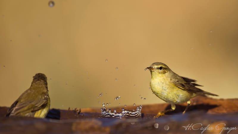 Willow warbler and Splashing Water