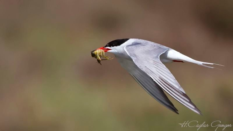 Common Tern and Crab