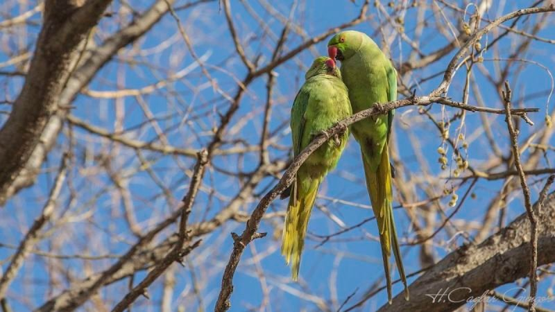 Ring-necked Parakeets on Tree