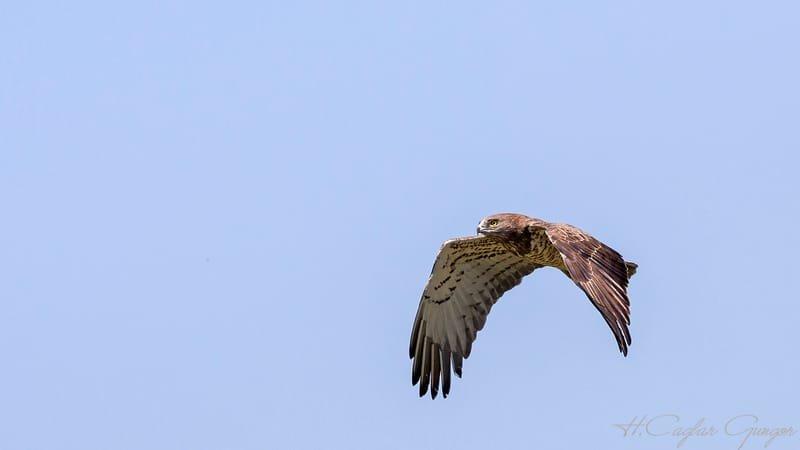 Short-toed snake eagle - Circaetus gallicusis