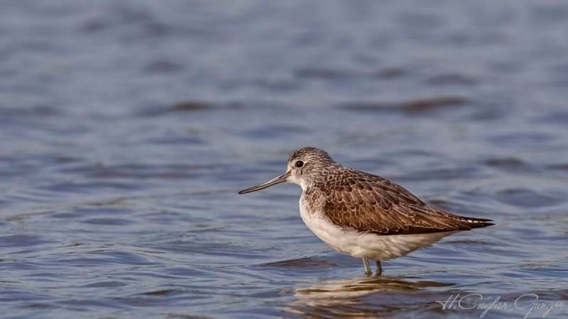 Common Greenshank in Pond