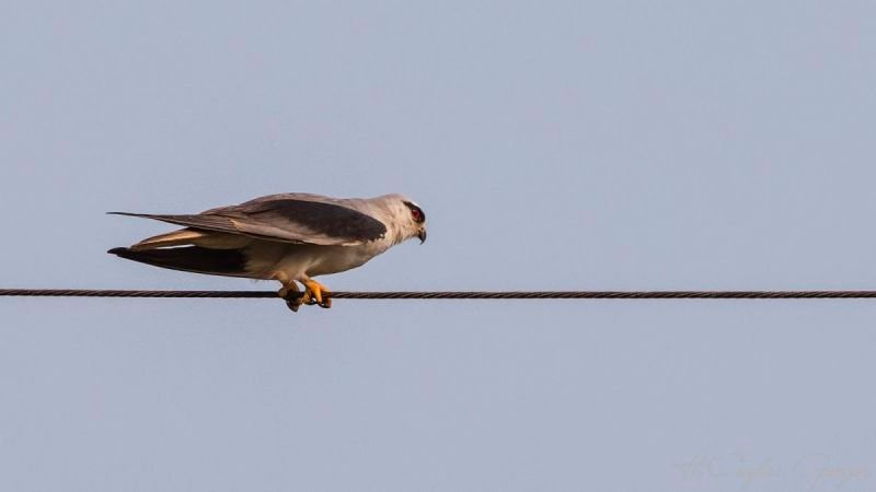 Black-shouldered Kite Electric Wire