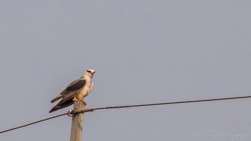 Black-shouldered Kite on Electric Pole
