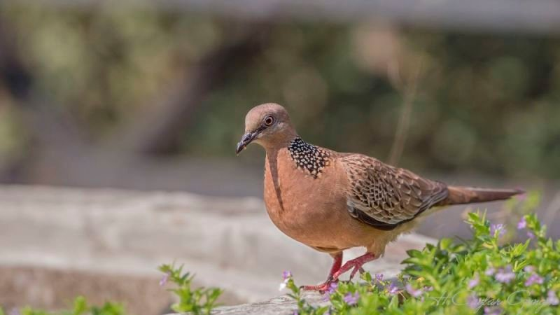 Spotted Dove Walking Among Flowers