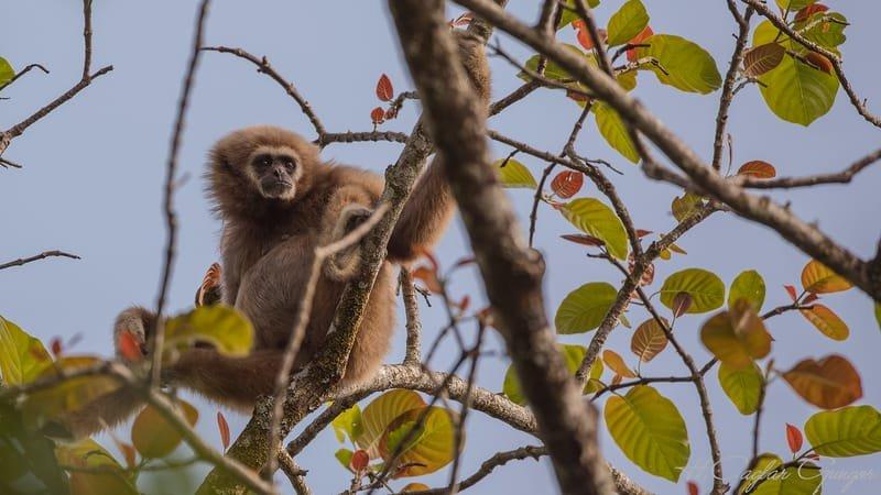 Lar Gibbon Perching On Tree