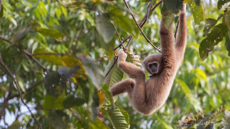 Lar Gibbon Hanging Down From Tree