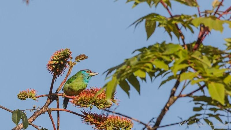 Blue-throated Barbet On Tree Top