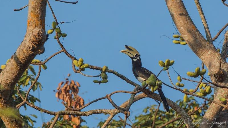 Oriental Pied Hornbill In Rainforest