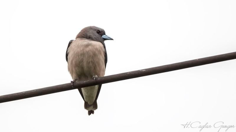 Ashy Woodswallow on Rubber Wire