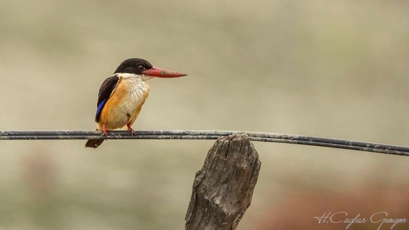 Black-capped Kingfisher on Black Rubber Wire