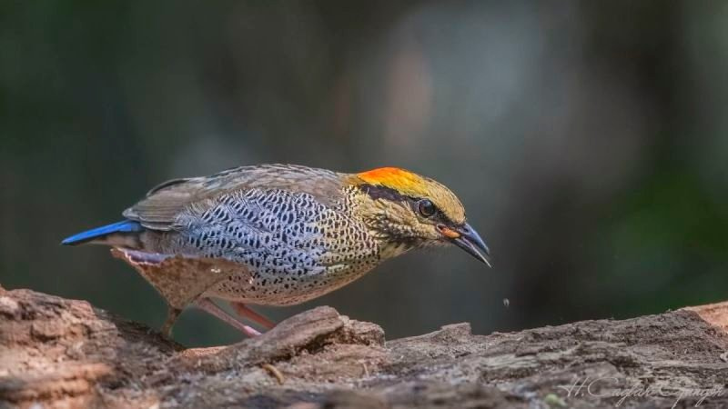 Blue Pitta Eating Live Worm