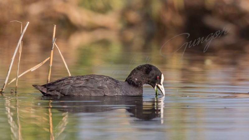 Common Coot Eating Weed in Lake