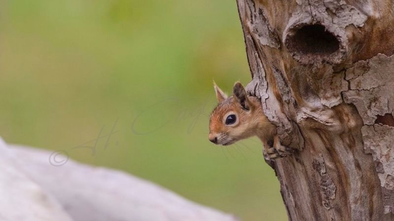 Squirrel on a Tree Hollow