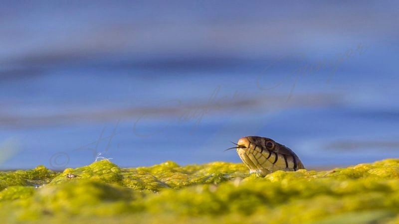 Grass Snake On Weed