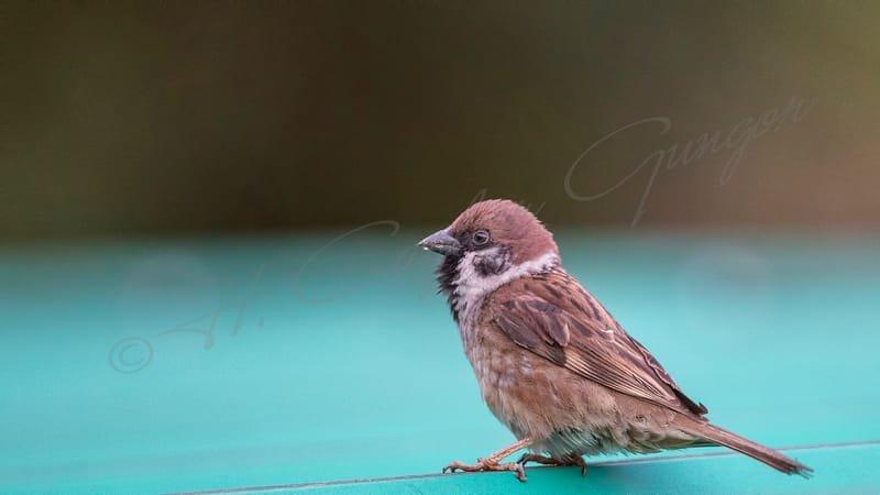 Tree Sparrow on Roof