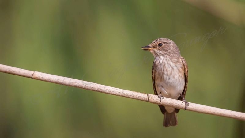 Spotted Flycatcher on a Reed Looking Left