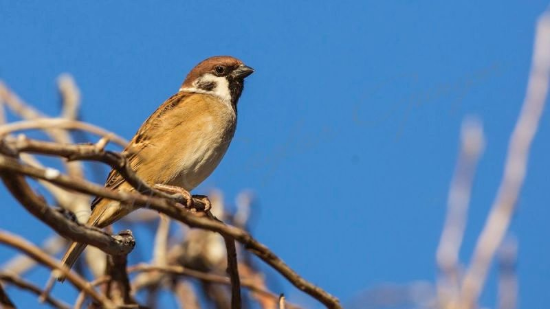 Tree Sparrow on Branch