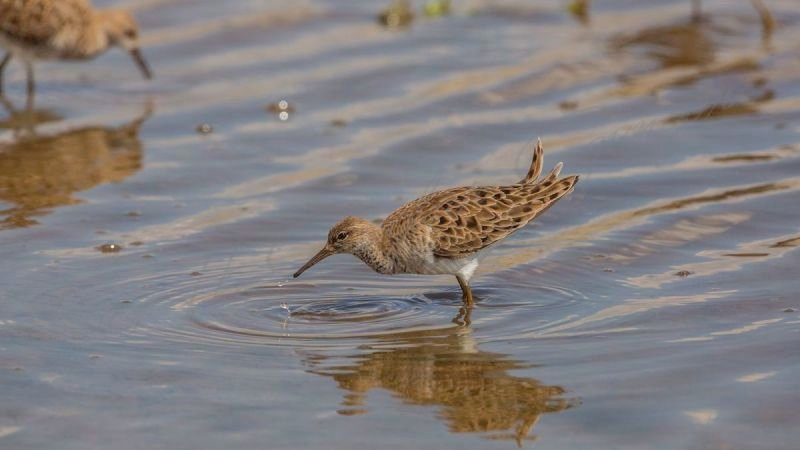 Ruff with Dripping Water