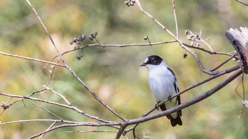 Collared Flycatcher on a Tree
