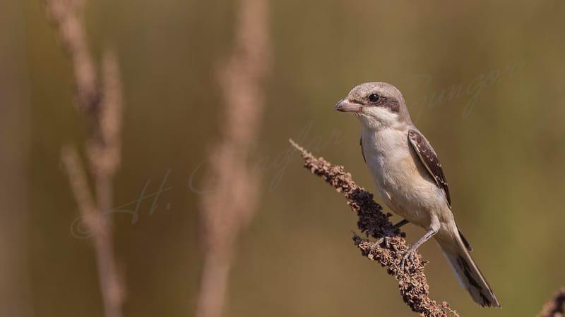 Lesser Grey Shrike on a Thistle