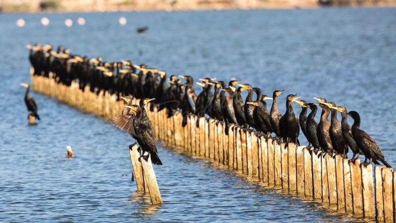 Population of Great Cormorants on Logs