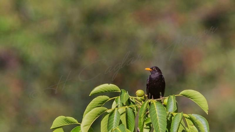 Blackbird on Top of Tree