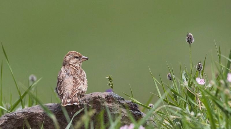 Rock Sparrow Perching on Rock