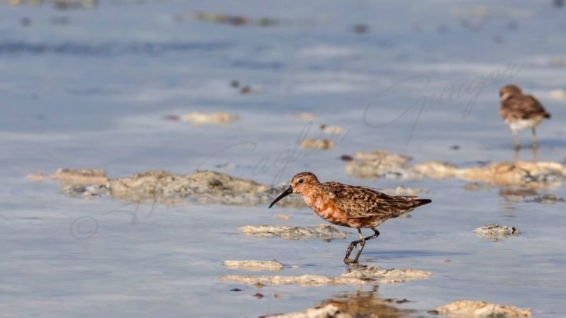 Curlew Sandpiper Wandering on the Shore