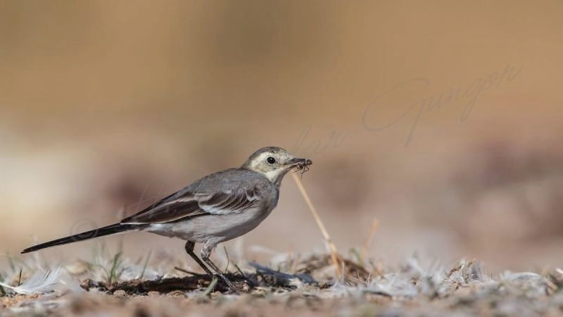 Pied Wagtail Eating Fly