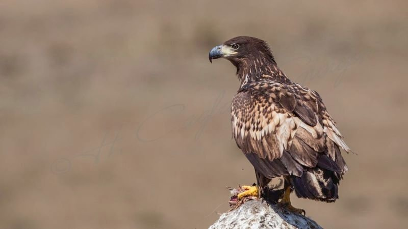 White-tailed Eagle on Rock with Carrion