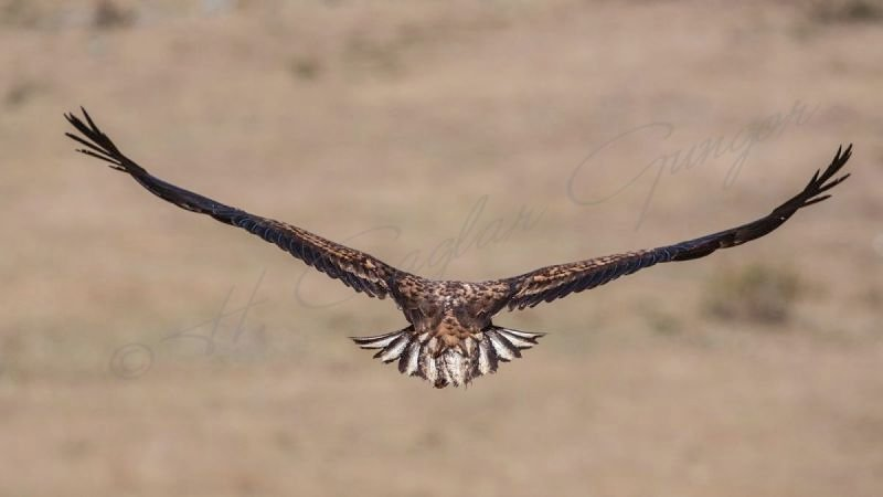 White-tailed Eagle Wingspan