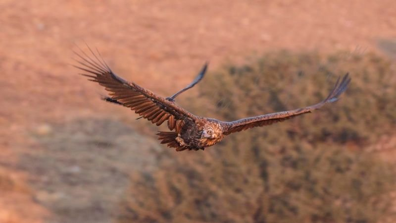 Cinereous Vulture Flying