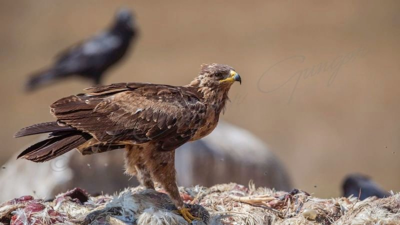Lesser Spotted Eagle Standing on Top of Carrion